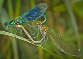Damselflies mating