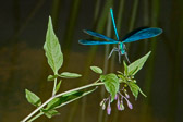 Damselfly landing on woody nightshade