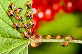 Stink bugs on red currant bush