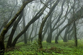 Laurel forest on La Gomera, Canary islands